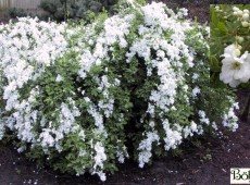Exochorda macrantha 'The Bride' -Perlstrauch, Prunkspiere-