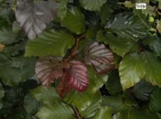 Fagus sylvatica purpurea (Slg.) -Blutbuche-