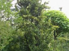 Fagus sylvatica 'Dawyck' (Fastigiata)  -Säulenbuche-