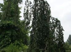 Fagus sylvatica 'Pendula' -grüne Hängebuche-