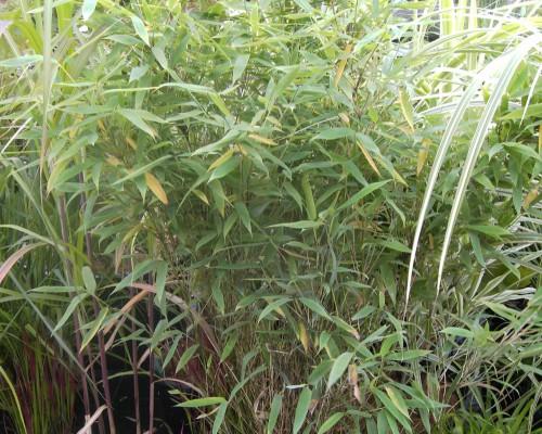 Bambus A - Z