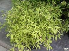 Fargesia murieliae -Gartenbambus-