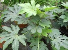 Fatsia japonica -Zimmeraralie-