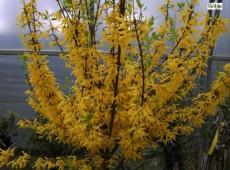 Forsythia intermedia 'Lynwood' -Goldglöckchen, Forsythie-
