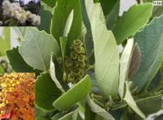 Fothergilla gardenii -Federbuschstrauch-