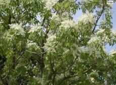 Fraxinus ornus -Blumen Esche-