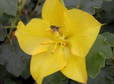 Fremontodendron 'California Glory' -Flanellbusch-