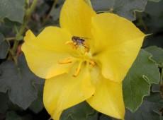 Fremontodendron 'California Glory' -Flanellbusch-