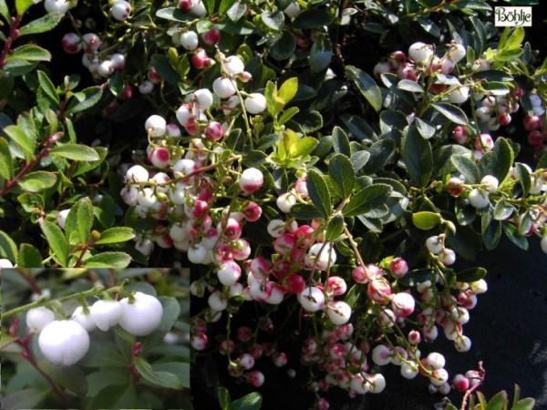 Gaultheria miqueliana - niederliegende Scheinbeere / Rebhuhnbeere -