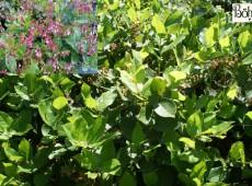 Gaultheria shallon -große Scheinbeere- (Heidekrautgewächs)