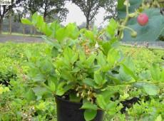 Gaultheria shallon - große Scheinbeere-
