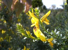 Genista tinctoria 'Royal Gold' -Färber Ginster-