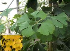 Ginkgo biloba  -Fächerblattbaum-