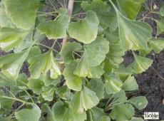 Ginkgo biloba 'Epiphylla' ('Ohatsuki') -Fächerblattbaum-