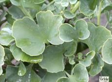 Ginkgo biloba 'Globus' -Fächerblattbaum-