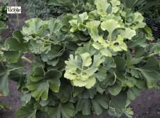 Ginkgo biloba 'Mariken' -Fächerblattbaum-