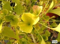 Ginkgo biloba 'Tubifolia' -Fächerblattbaum-