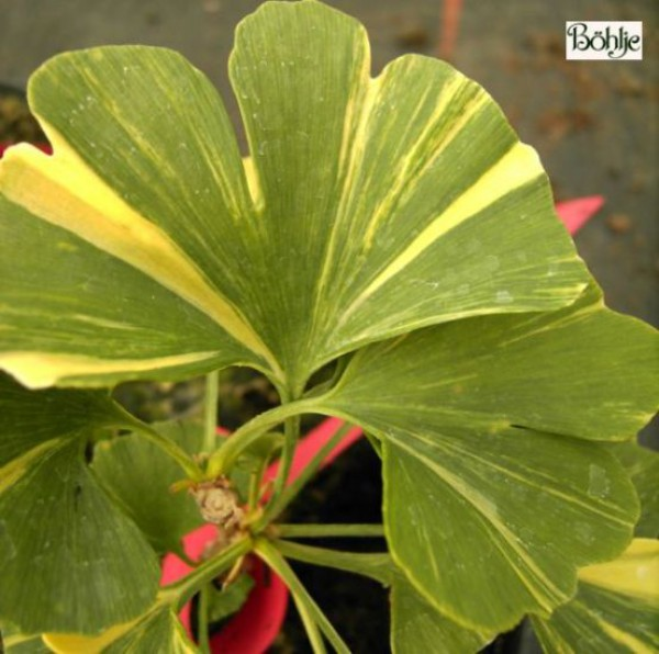 Ginkgo biloba 'Variegata'