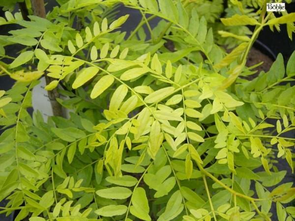 Gleditsia triacanthos 'Sunburst' -gelber Lederhülsenbaum-