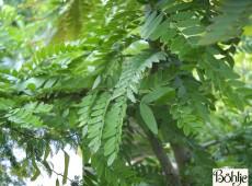 Gleditsia triacanthos -Lederhülsenbaum-