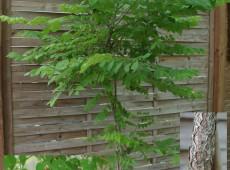 Gymnocladus dioicus  -Geweihbaum-