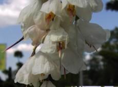 Halesia carolina - Schneeglöckchenbaum -