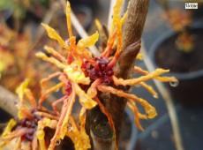 Hamamelis intermedia 'Aphrodite' -Zaubernuß-
