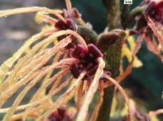 Hamamelis intermedia 'Aurora' -Zaubernuß-