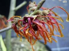 Hamamelis intermedia 'Feuerzauber' -Zaubernuß-