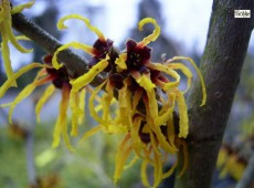 Hamamelis intermedia 'Orange Beauty' -Zaubernuß-