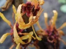 Hamamelis intermedia 'Orange Peel' -Zaubernuß-