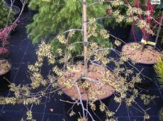 Hamamelis japonica 'Pendula' - Zaubernuß-