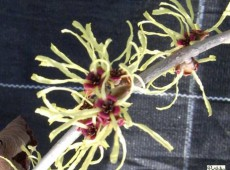Hamamelis mollis -Lichtmeß / Zaubernuß-