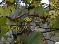 Hamamelis virginiana -herbstblühende Hamamelis-