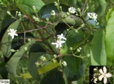 Heptacodium miconioides -Sieben Söhne des Himmels Strauch-