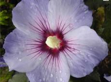 Hibiscus syriacus 'Blue Bird' / 'Oiseau Bleu' -Garteneibisch-