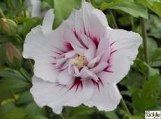 Hibiscus syriacus 'China Chiffon' ® -Garteneibisch-