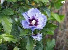 Hibiscus syriacus 'Colelestris' -Garteneibisch-