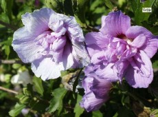 Hibiscus syriacus 'Duc de Brabant' -Garteneibisch-