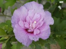 Hibiscus syriacus 'Lavender Chiffon' ® -Garteneibisch-