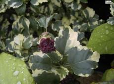 Hibiscus syriacus 'Meehanii' -Garteneibisch-