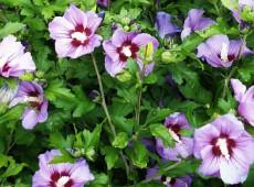 Hibiscus syriacus 'Pink Giant' ® -Garteneibisch-