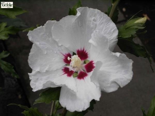 Hibiscus syriacus 'Red Heart' -Garteneibisch-