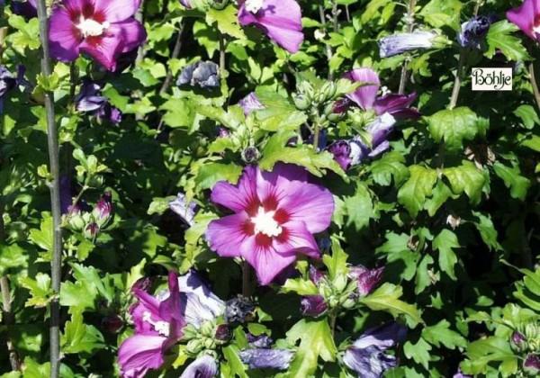 Hibiscus syriacus 'Russian Violet' ® -Garteneibisch-
