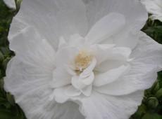 Hibiscus syriacus 'White Chiffon' ® -Garteneibisch-