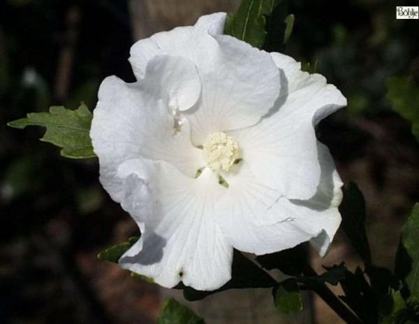 Hibiscus syriacus 'William R. Smith' -Garteneibisch-