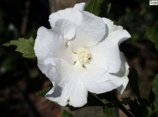 Hibiscus syriacus 'William R. Smith' -Garteneibisch-