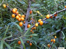 Hippophae rhamnoides -Sanddorn-