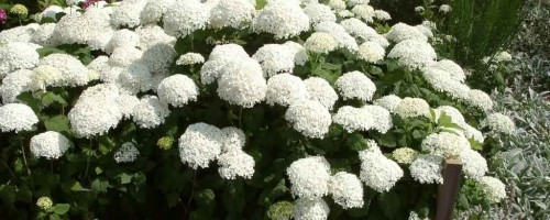 Hydrangea A - Z (Hortensien)