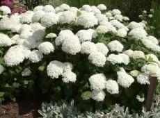 Hydrangea arborescens 'Annabelle' -Schneeballhortensie-